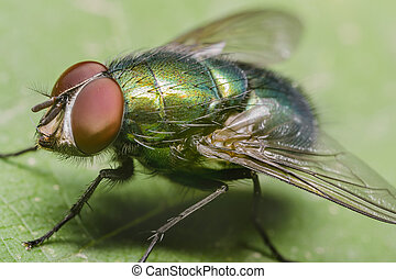 Green Housefly - The housefly Musca domestica, is a fly of...