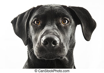 Black Labrador puppy over a white background
