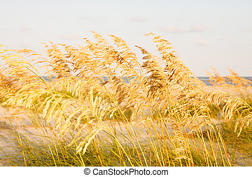 Sea Oats in Coastal Marsh - Golden Sea Oats in a wetland...