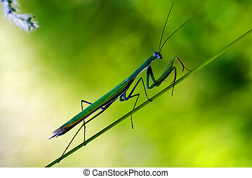 praying mantis mantodea on a green - close up of wild side...