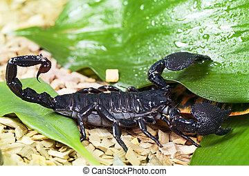 fauna, escorpião