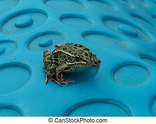 Leopard frog front view - Green leopard frog front view
