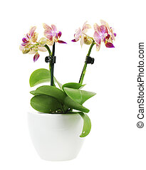 Orchid - Isolated orchid flower in a white ceramic flower...