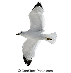 Flying  Seagull  On  White Background.