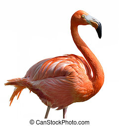 Pink Flamingo  On White Background