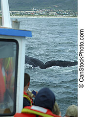 Tourists watching on boat a southern right whale at Hermanus...