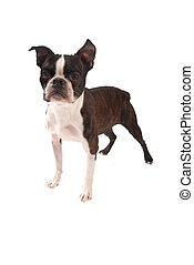 Brindle and White Boston Terrier Stading - Purebred Boston...