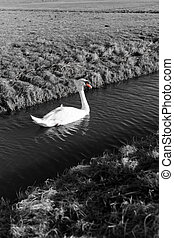 Mute Swan in a cold dutch ditch seem to be able to stand in...