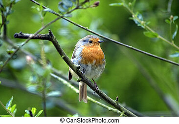 Robin Red Breast - Close up of Robin Red Breast perched in...