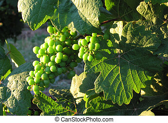 french grapes in Alsace - Close up of french young bunch...