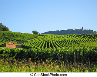vineyard in Alsace - fields of grapewine in Alsace - Route...