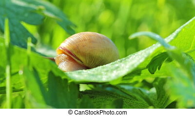 snail - bug, snail, insect, leaf, macro, mollusk
