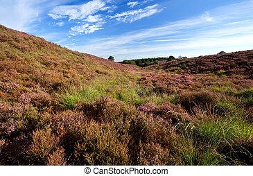 flowering heather in Veluwe, Gelderland - hills with...
