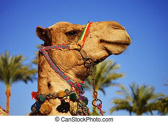 Camel over the blue sky