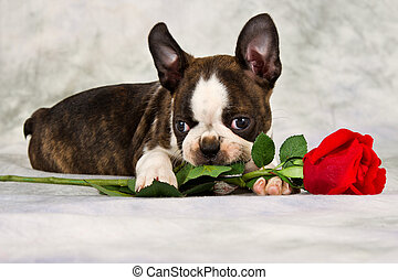 Boston terrier puppy lay down and chew on flower