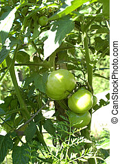 Tomatos - Growing tomatos on the field
