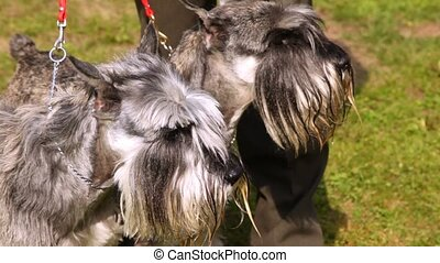 Two dogs of breed mittelschnauzer walk on lawn with green grass