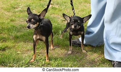 Two dogs of breed toy terrier walk on lawn with green grass