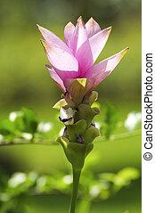 Siam tulip Thailand
