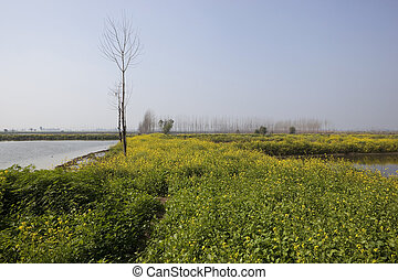Keshopur Wetlands Punjab - yellow flowered mustard plants...