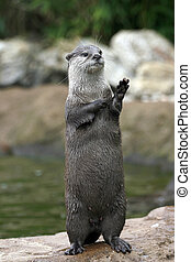 Waving Otter?  - An otter seems to be waving while standing