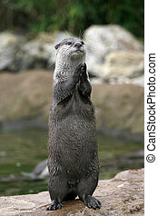 Clapping Otter? - An otter seems to be clapping or praying...