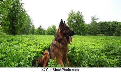 Sheep dog sit on grass field and watch around at summer...