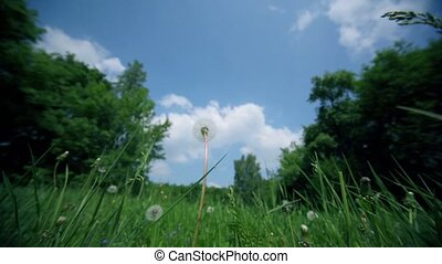 Dandelion on grass field near forest under blue sky with clouds