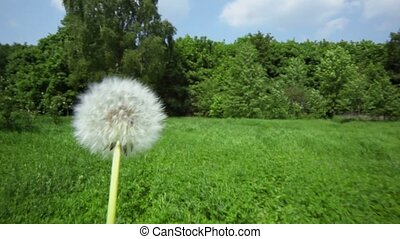 Dandelion at background of forest and road across grass...
