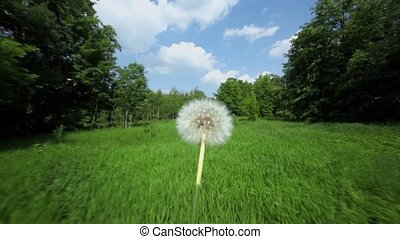 Dandelion at background of grass field and forest in motion