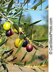 Olives In The portuguese field.