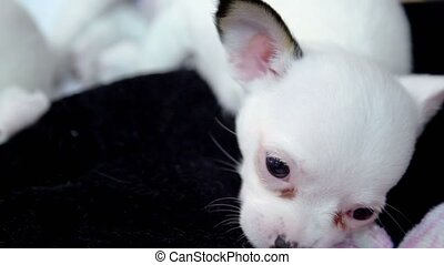 Little dogs of chihuahua breed lais near, one blinks its...