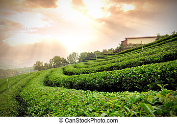 Tea plantation at sunset dramatic orange sky