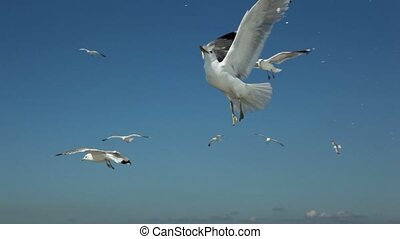 Pieces of bread thrown for several gulls flap and fly in sky...