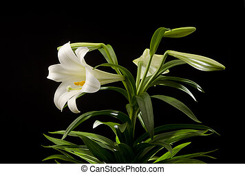 Easter Lily - Easter lily plant isolated on a black...
