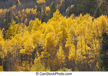 Aspen Pines Changing Color Against the Mountain Side