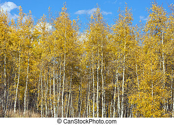 Colorful Aspen Pines Against Deep Blue Sky