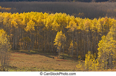 Aspen Pines Changing Color