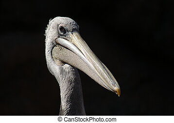 Pink-backed Pelican - Pelecanus rufescens