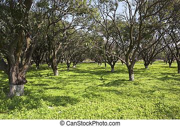 Punjabi mango orchard - a beautiful sunny mango orchard at...