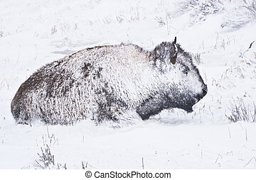 Bison in Winter Storm - Yellowstone bison hunker down to...