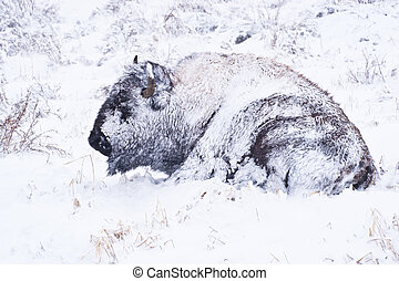 Bison in Blizzard - Yellowstone bison hunkers down to...