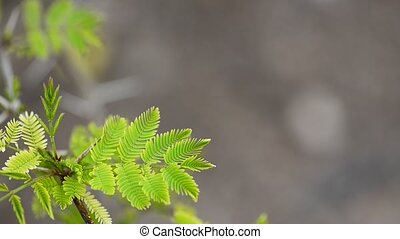 Green leaves of a Acacia decurrens
