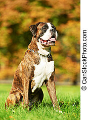 one german tiger boxer dog