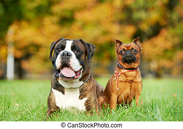 german tiger boxer dog and petit brabancon griffon