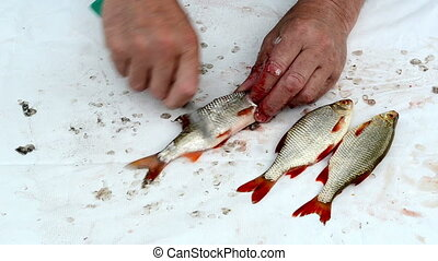 fisherman clean fish - fisherman hand with knife clean roach...