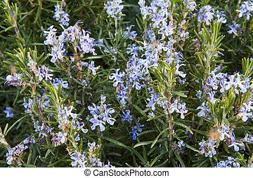 rosemary flowering branches in full bloom - spring rosemary...