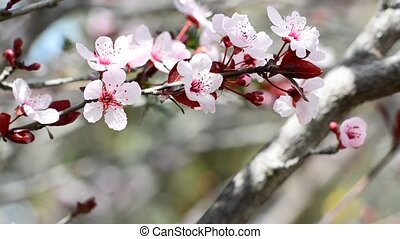 Beautiful branch of Japanese plum