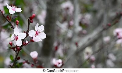 Flowers plum tree