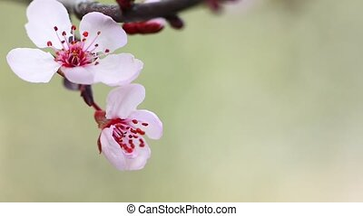 Japanese plum flowers on a green ba
